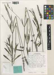 Lavandula angustifolia x latifolia = L. x intermedia herbarium specimen from Wisley, VC17 Surrey in 2001 by Susyn Andrews.