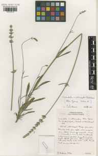Lavandula angustifolia x latifolia = L. x intermedia herbarium specimen from The Scented Garden, VC9 Dorset in 2001 by Susyn Andrews.