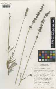 Lavandula angustifolia x latifolia = L. x intermedia herbarium specimen from Downderry Nursery, Hadlow, VC16 West Kent in 2001 by Susyn Andrews.