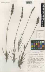 Lavandula angustifolia x latifolia = L. x intermedia herbarium specimen from Downderry Nursey, Hadlow, VC16 West Kent in 2000 by Susyn Andrews.