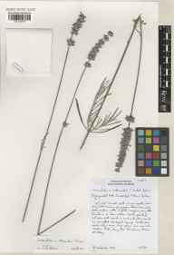 Lavandula angustifolia x latifolia = L. x intermedia herbarium specimen from Cambridge Botanic Gardens, VC29 Cambridgeshire in 2001 by Susyn Andrews.
