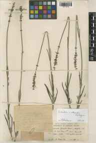 Lavandula angustifolia x latifolia = L. x intermedia herbarium specimen from Seal, VC16 West Kent in 1937 by H Deane.