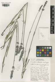 Lavandula angustifolia x latifolia = L. x intermedia herbarium specimen from Norfolk Lavender, Heacham, VC28 West Norfolk in 2002 by Susyn Andrews.