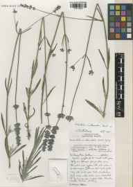 Lavandula angustifolia x latifolia = L. x intermedia herbarium specimen from Wakehurst Place, VC14 East Sussex in 2001 by Susyn Andrews.