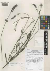 Lavandula angustifolia x latifolia = L. x intermedia herbarium specimen from Wisley, VC17 Surrey in 2000 by Susyn Andrews.