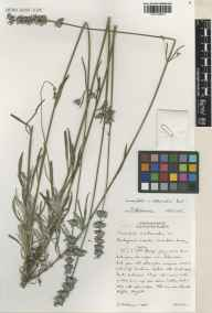 Lavandula angustifolia x latifolia = L. x intermedia herbarium specimen from Carshalton, VC17 Surrey in 2001 by Susyn Andrews.