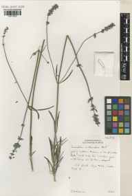 Lavandula angustifolia x latifolia = L. x intermedia herbarium specimen from Hitchin, VC20 Hertfordshire in 2002 by Susyn Andrews.