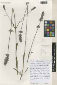 Lavandula angustifolia x latifolia = L. x intermedia herbarium specimen from Norfolk Lavender, Heacham, VC28 West Norfolk in 2001 by Susyn Andrews.
