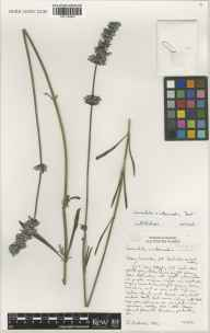 Lavandula angustifolia x latifolia = L. x intermedia herbarium specimen from Saint Brelade, Jersey, VC113 Channel Islands in 2001 by Susyn Andrews.