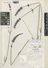 Lavandula angustifolia x latifolia = L. x intermedia herbarium specimen from Wisley, VC17 Surrey in 1997 by Susyn Andrews.