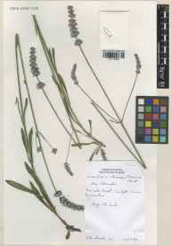 Lavandula angustifolia x latifolia = L. x intermedia herbarium specimen from Carnforth, VC60 West Lancashire in 1988 by Susyn Andrews.