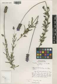 Lavandula dentata var. dentata herbarium specimen from Cambridge Botanic Gardens, VC29 Cambridgeshire by Susyn Andrews.