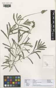 Lavandula dentata var. candicans herbarium specimen from Agadir in 2003 by .