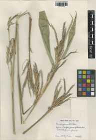 Pseudosasa japonica herbarium specimen from Keswick, VC27 East Norfolk in 1967.