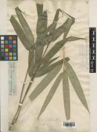Pseudosasa japonica herbarium specimen from Italy, Florence in 1877.