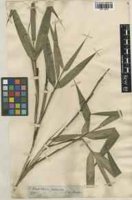 Pseudosasa japonica herbarium specimen from Hong Kong in 1877.
