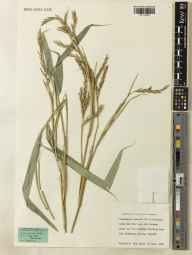 Pseudosasa japonica herbarium specimen from Kew, VC17 Surrey in 1983 by Richard W Pohl.