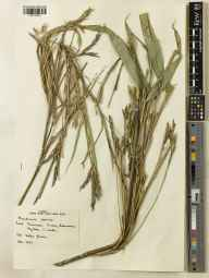 Pseudosasa japonica herbarium specimen from Beaumaris, VC52 Anglesey in 1967 by Brother Jerome.