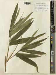 Pseudosasa japonica herbarium specimen from Kew Gardens, VC17 Surrey in 1950 by John Eustace Sirett Souster.