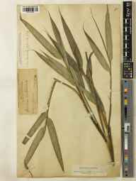 Pseudosasa japonica herbarium specimen from Kew Gardens, VC17 Surrey in 1888 by Mr George Nicholson.