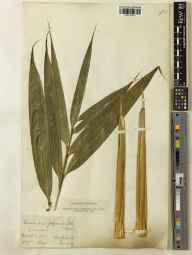 Pseudosasa japonica herbarium specimen from Kew Gardens, VC17 Surrey in 1897 by James Sykes Gamble.