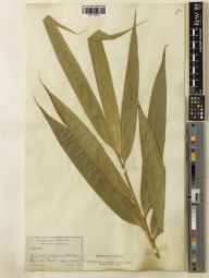 Pseudosasa japonica herbarium specimen from Liphook, VC12 North Hampshire in 1888 by James Sykes Gamble.