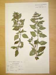 Mentha arvensis x aquatica = M. x verticillata herbarium specimen from Bowland with Leagram, VC60 West Lancashire in 1978 by Mrs Barbara Dalrymple Greenwood.