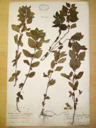 Mentha arvensis x aquatica = M. x verticillata herbarium specimen from Knock Iveagh, VCH38 Co. Down in 1894 by Rev. Henry William Lett.