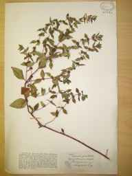 Mentha arvensis x aquatica = M. x verticillata herbarium specimen from Great Doward, VC36 Herefordshire in 1906 by Rev. Augustin Ley.
