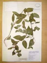 Mentha arvensis x aquatica x spicata = M. x smithiana herbarium specimen from River Lune, VC60 West Lancashire in 1989 by Eric Fairgrieve Greenwood.