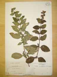 Mentha arvensis x aquatica x spicata = M. x smithiana herbarium specimen from Rowberrow, VC6 North Somerset in 1908 by Mr James Walter White.