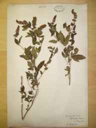 Mentha aquatica x spicata = M. x piperita herbarium specimen from Blashford, VC11 South Hampshire in 1893 by Rev William Richardson Linton.