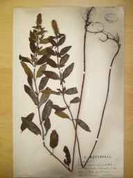 Mentha aquatica x spicata = M. x piperita herbarium specimen from Elloughton, VC61 South-east Yorkshire in 1891 by Mr Charles Waterfall.