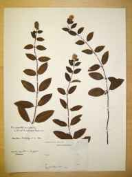 Mentha piperita var. piperita herbarium specimen collected by Harrison.