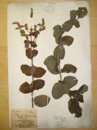 Mentha spicata x suaveolens = M. x villosa var. alopecuroides herbarium specimen from Pollington, VC63 South-west Yorkshire in 1864 by Mr Phineas Fox Lee.