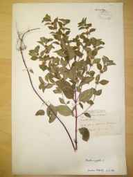 Mentha arvensis x spicata = M. x gracilis herbarium specimen from Miller's Dale, VC57 Derbyshire in 1893 by Mr Harry Corbyn Levinge.