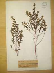 Mentha arvensis x spicata = M. x gracilis herbarium specimen from Haseley, VC38 Warwickshire in 1886 by Mr Henry Bromwich.