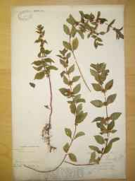 Mentha arvensis x spicata = M. x gracilis herbarium specimen from Sellack, VC36 Herefordshire in 1887 by Rev. Augustin Ley.