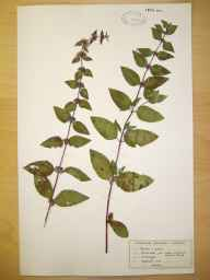 Mentha arvensis x spicata = M. x gracilis herbarium specimen from Barbon Beck, VC69 Westmorland in 1955 by M Partington.