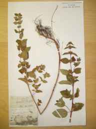 Mentha arvensis x spicata = M. x gracilis herbarium specimen from Sprowston, VC27 East Norfolk in 1882.