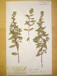 Mentha arvensis x spicata = M. x gracilis herbarium specimen from Haseley, VC38 Warwickshire in 1902 by Rev. Augustin Ley.