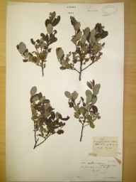 Salix aurita x repens = S. x ambigua herbarium specimen from Tomintoul, VC94 Banffshire in 1905 by Rev. Edward Shearburn Marshall.
