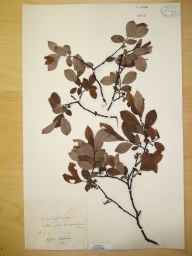 Salix cinerea x aurita = S. x multinervis herbarium specimen from Rainford, VC59 South Lancashire in 1913.