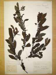 Salix cinerea x aurita = S. x multinervis herbarium specimen from Crowden, VC57,VC58 in 1894 by Rev William Richardson Linton.