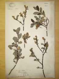 Salix cinerea x aurita = S. x multinervis herbarium specimen from Edlaston Coppy, VC57 Derbyshire in 1890.