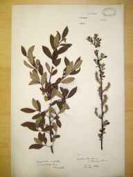 Salix cinerea x aurita = S. x multinervis herbarium specimen from Yeldersley, VC57 Derbyshire in 1889.