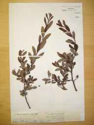 Salix cinerea x aurita = S. x multinervis herbarium specimen from Bangor, VC49 Caernarvonshire in 1892 by Rev William Richardson Linton.