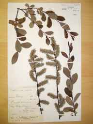 Salix cinerea x aurita = S. x multinervis herbarium specimen from Swansea, VC41 Glamorganshire in 1894 by Rev William Richardson Linton.