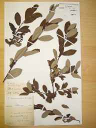 Salix cinerea x aurita = S. x multinervis herbarium specimen from Brailsford, VC57 Derbyshire in 1890 by Rev William Richardson Linton.