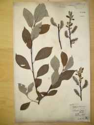 Salix caprea x cinerea = S. x reichardtii herbarium specimen from Edlaston Coppy, VC57 Derbyshire in 1896 by Rev William Richardson Linton.